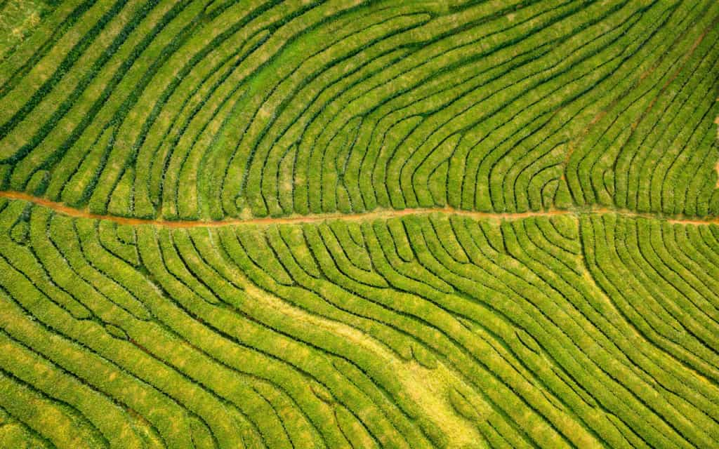 tea plantations azores sao miguel
