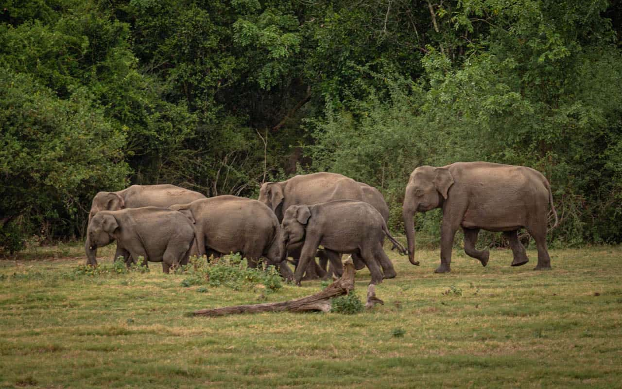 kaudualla-national-park-safari-elephant-herd