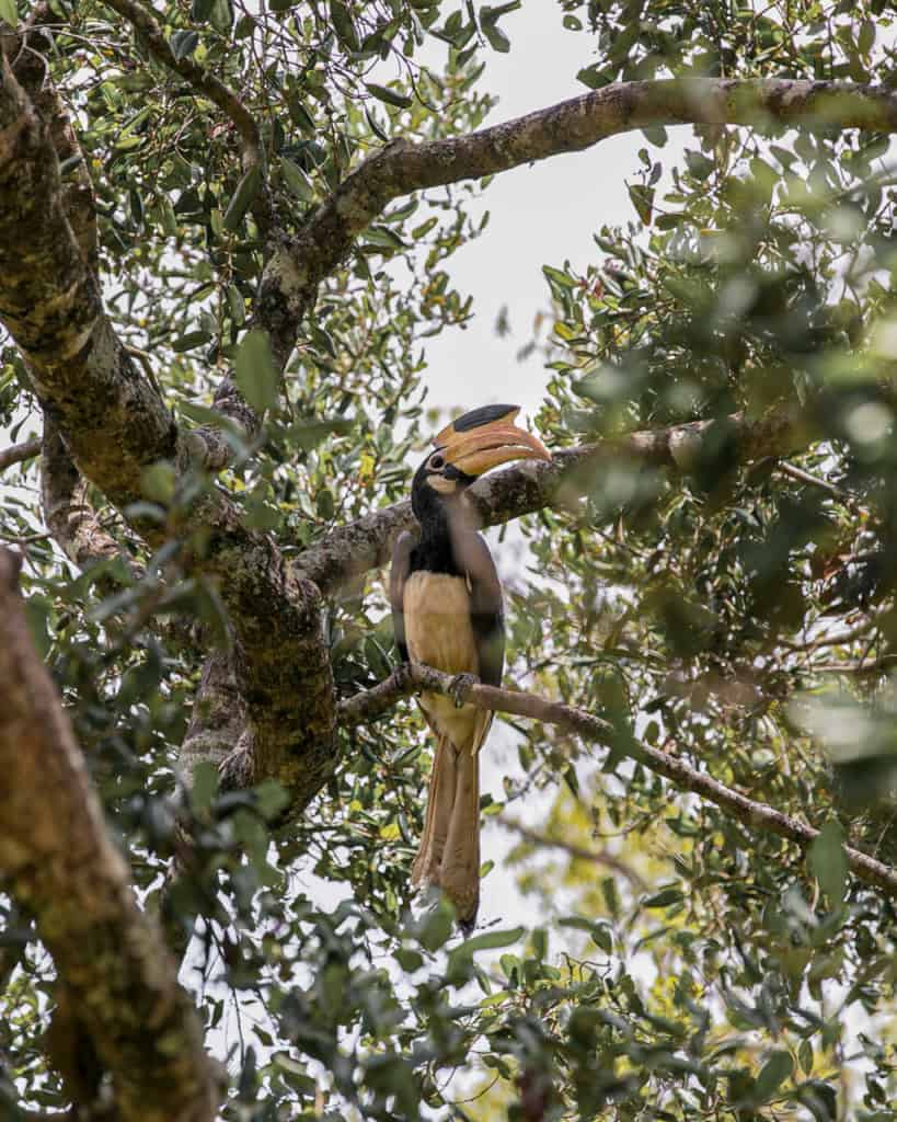 safari-sri-lanka-hornbill