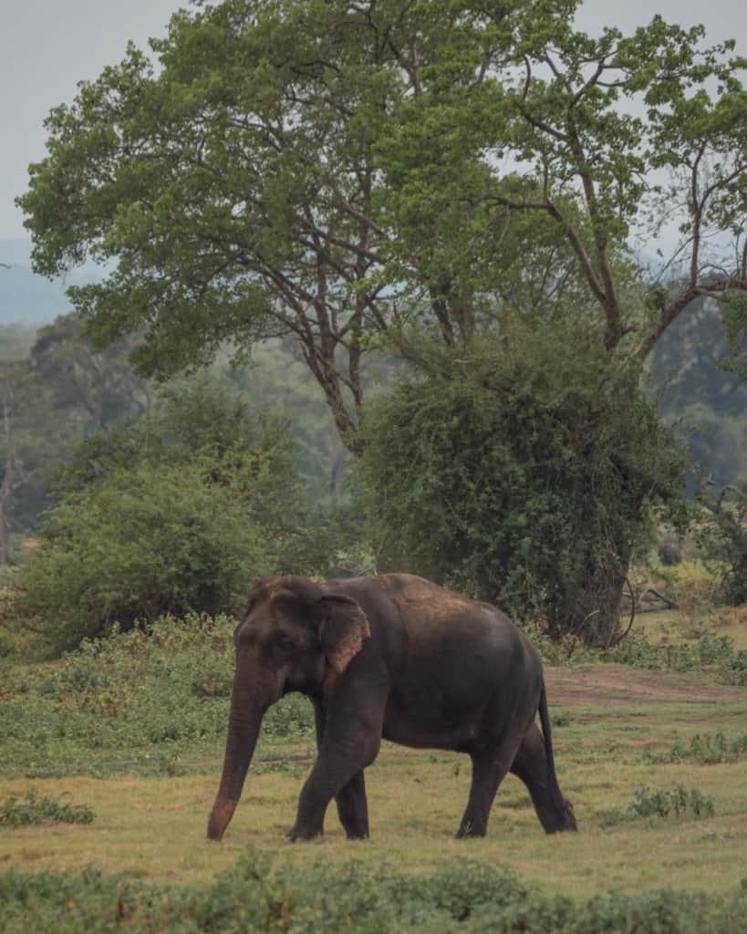 safari-sri-lanka-kaudulla-elephant