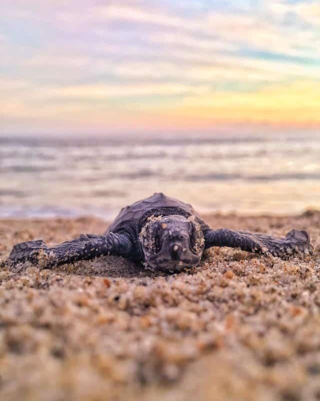 baby-turtle-sri-lanka