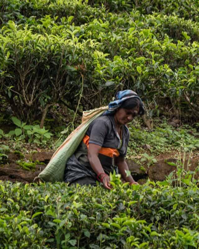 places-to-visit-nuwara-eliya-tea-fields-plucking