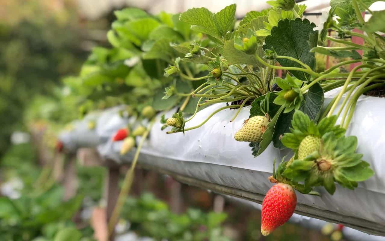 strawberry-farm-nuwara-eliya