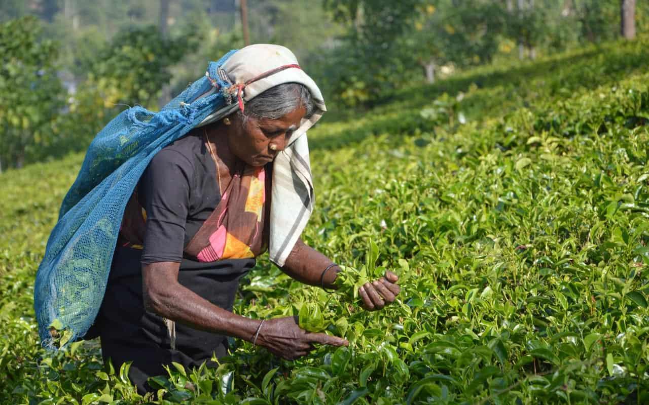 tea-plantations-nuwara-eliya-plucking