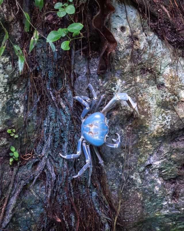 gran-cenote-tulum-blue-crab-zoom