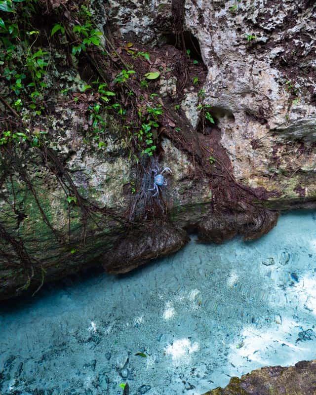 gran-cenote-tulum-blue-crab