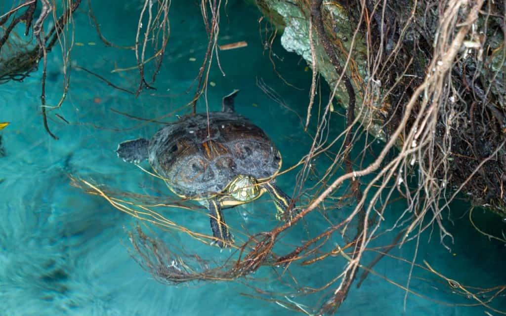 gran-cenote-tulum-turtle
