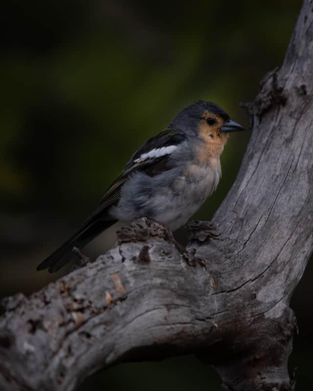 chaffinch-bird