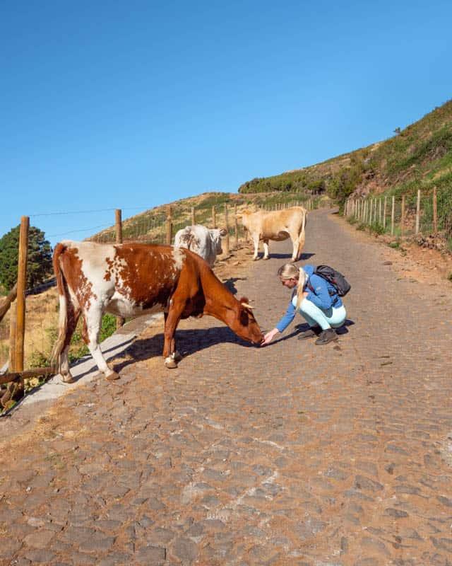 levada-do-paul-view-cow