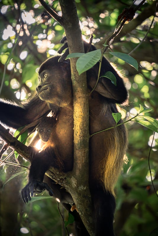 cahuita-national-park-ape-with-baby
