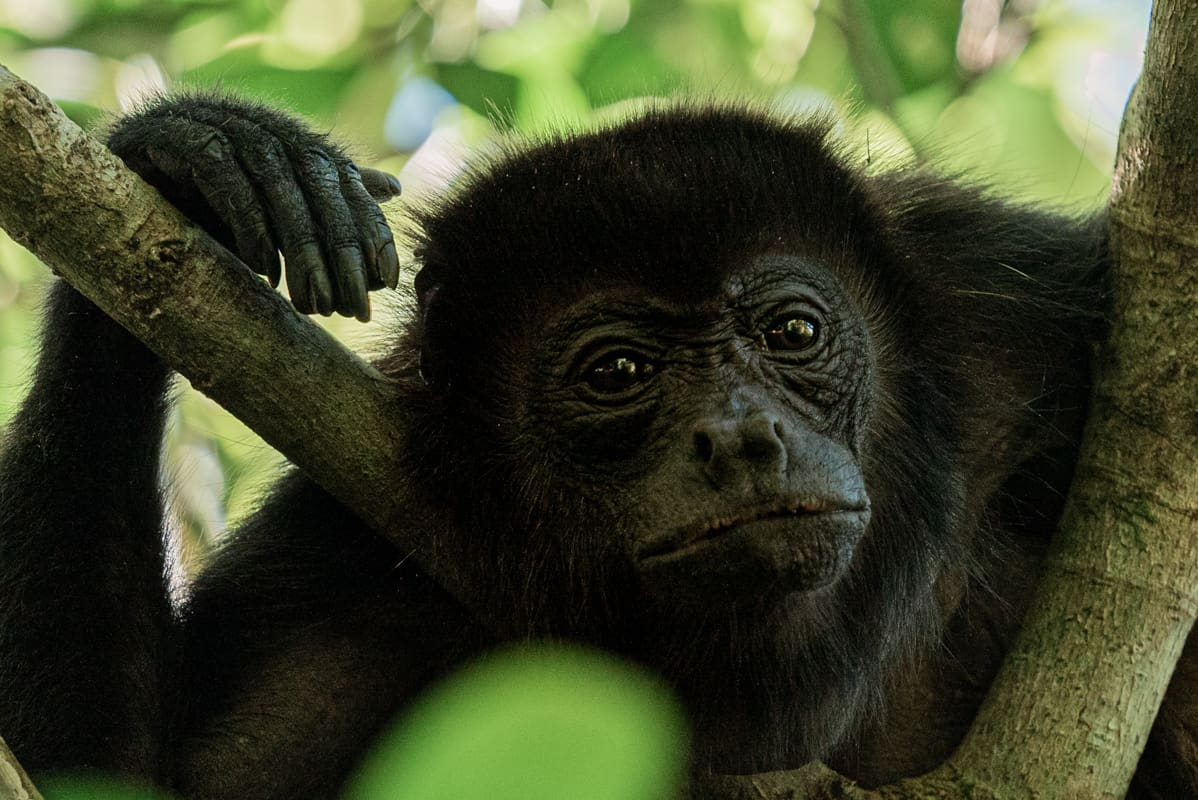 howler-monkey-closeup