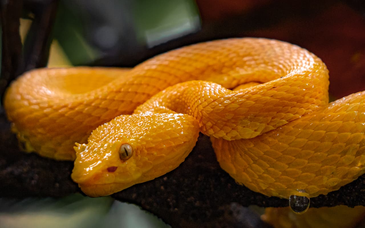 yellow-eyelash-pit-viper